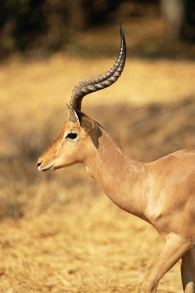 Close-up of an impala (Aepyceros melampus), Mashatu Game Reserve, Botswana, Africa