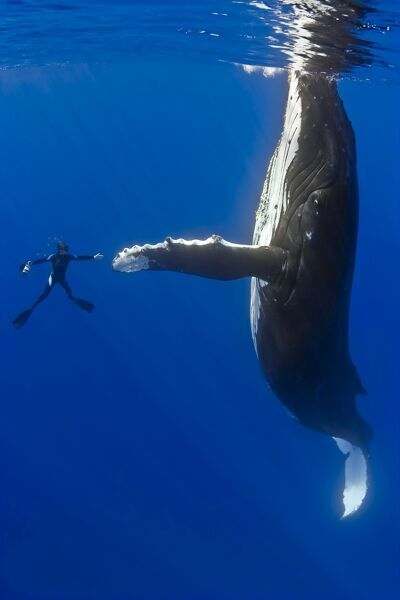 Southern humpback whale, Megaptera novaeangliae, and diver, shaking hands, on migratory route, South Pacific Ocean
