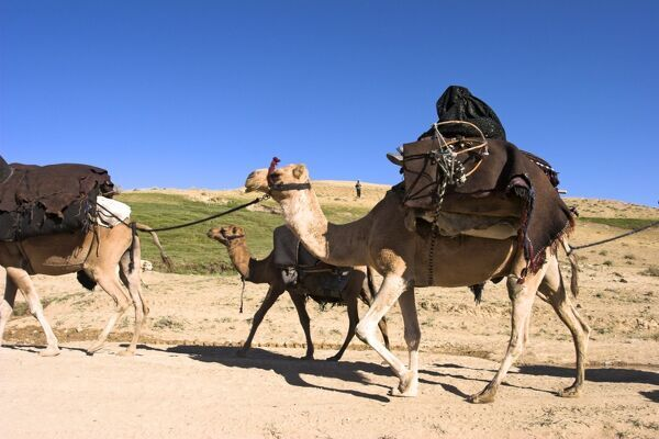 Woman sitting on top of camel, Kuchie nomad camel train, between Chakhcharan and Jam, Afghanistan, Asia