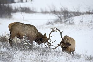 Two bull elk (Cervus canadensis) sparring in the snow, Jasper National Park