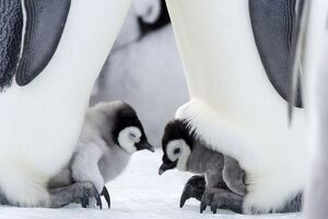 Emperor penguin chicks (Aptenodytes forsteri), Snow Hill Island, Weddell Sea