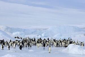 Emperor penguin colony (Aptenodytes forsteri), Snow Hill Island, Weddell Sea