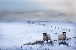 Northumberland blackface sheep in snow, Tarset, Hexham, Northumberland