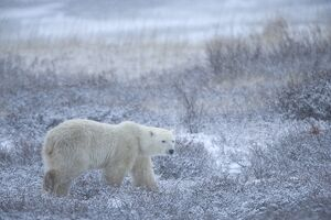 Polar bear, Ursus maritimus, Churchill, Manitoba, Canada, North America