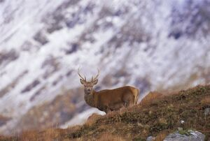 Red deer stag in the Highlands in February