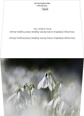 Snowdrops (Galanthus nivalis) Norfolk, England, United Kingdom, Europe