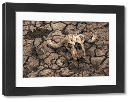 Cape buffalo (Syncerus caffer) skull, Zimanga Private Game Reserve, KwaZulu-Natal, South Africa, Africa