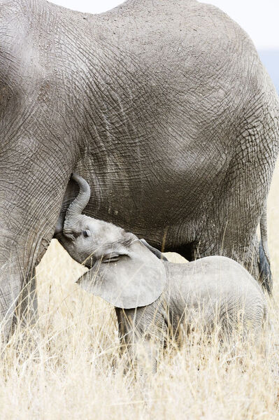 Baby African elephant and mother (Loxodonta africana), Serengeti National Park, UNESCO World Heritage Site, Tanzania, East Africa, Africa