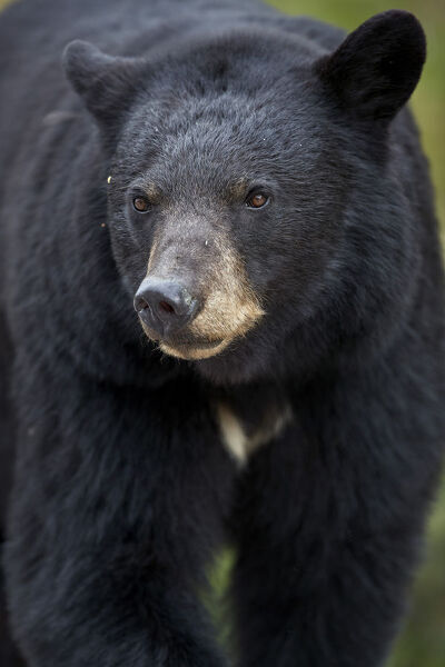 Black Bear (Ursus americanus), Jasper National Park, Alberta, Canada, North America