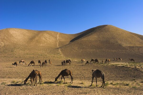 Camels, between Herat and Maimana (after Bala Murghah), Afghanistan, Asia