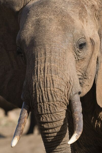 Close up portrait of an African elephant (Loxodonta africana), Tsavo, Kenya, East Africa, Africa