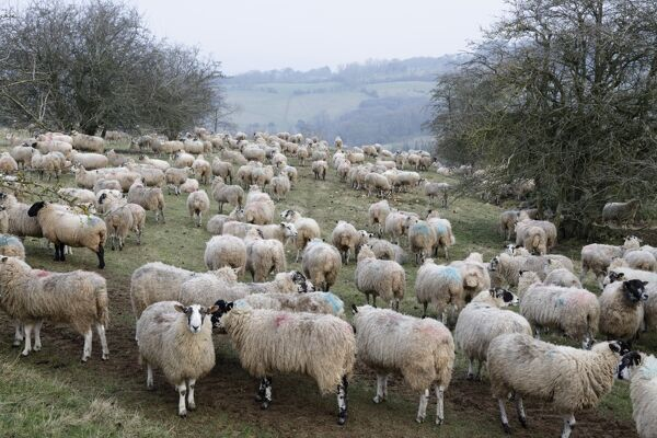 Flock of sheep on Cotswold hillside, Broadway, Cotswolds, Worcestershire, England, United Kingdom, Europe