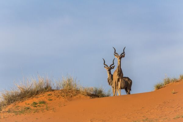 Greater kudu (Tragelaphus strepsiceros) on dunes, Kgalagadi Transfrontier Park, Northern Cape, South Africa, Africa