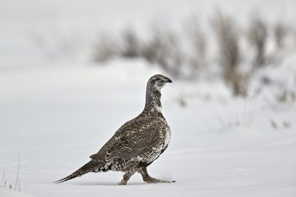 Greater sage-grouse (Centrocercus urophasianus) in the snow, Grand Teton National Park, Wyoming, United States of America, North America