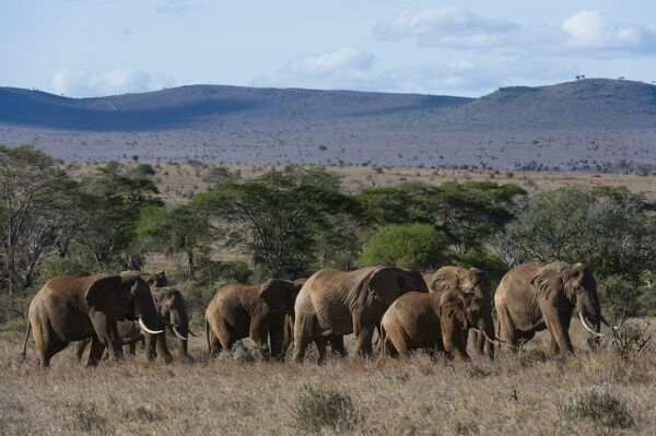 A large herd of African elephant (Loxodonta africana) walking though savannah grass in a line, Tsavo, Kenya, East Africa, Africa