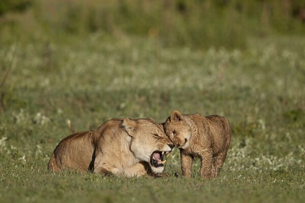 Lion (Panthera leo) cub rubbing against its mother, Ngorongoro Crater, Tanzania, East Africa, Africa