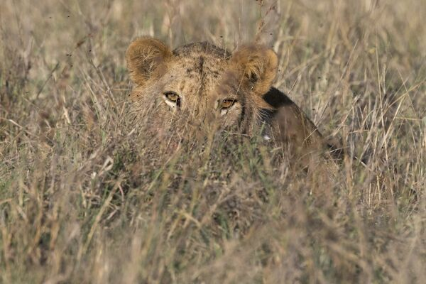 A lion (Panthera leo) hiding in tall grass, Tsavo, Kenya, East Africa, Africa