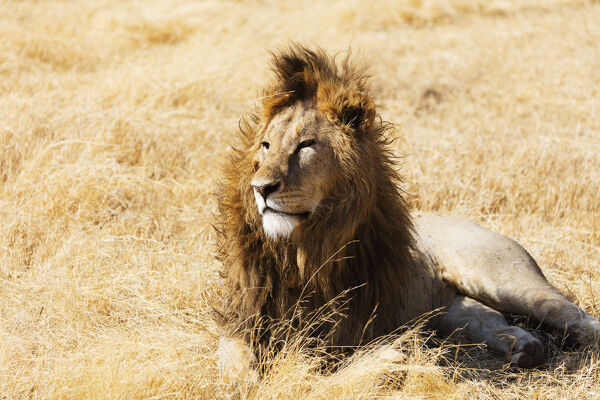Lion (Panthera leo), Ngorongoro Crater Conservation Area, UNESCO World Heritage Site, Tanzania, East Africa, Africa