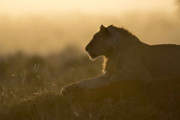 A lion (Panthera leo) resting on a termite mound at sunset, East Africa, Africa