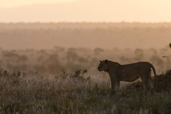 A lion (Panthera leo) at sunset standing, Tsavo, Kenya, East Africa, Africa