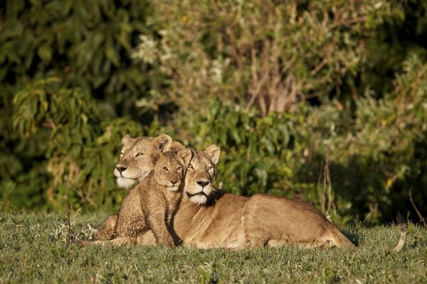Two lionesses (Panthera leo) and a cub, Ngorongoro Crater, Tanzania, East Africa, Africa
