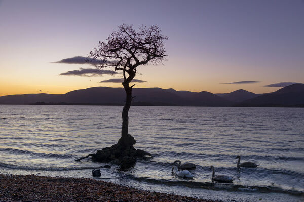 Lone tree with swans, Milarrochy Bay, Loch Lomond, Scotland, United Kingdom, Europe