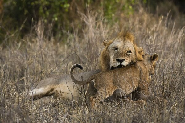 A male lion (Panthera leo) with its cub, Tsavo, Kenya, East Africa, Africa