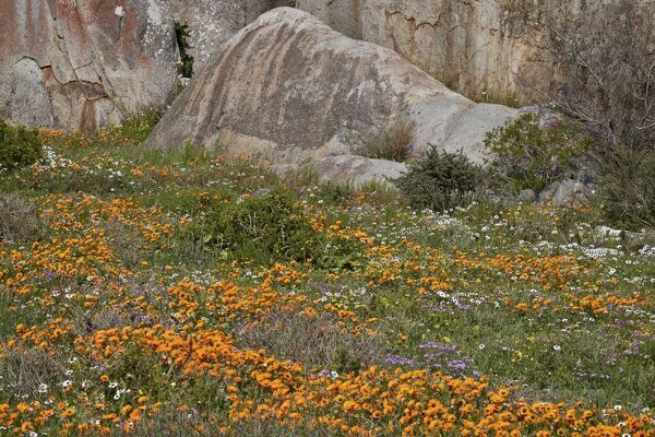 Orange, purple, white and yellow wildflowers, West Coast National Park, South Africa, Africa