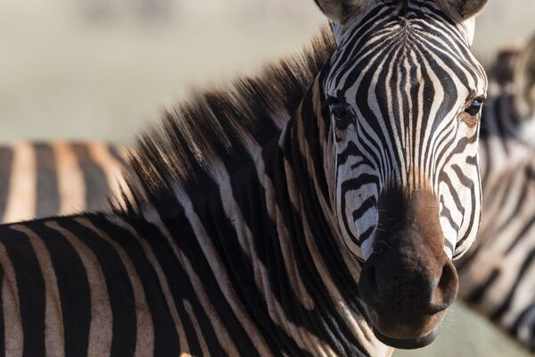 Portrait of a common zebra (Equus quagga) looking at the camera, Tsavo, Kenya, East Africa, Africa