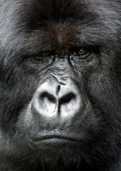 Silverback gorilla looking intensely, in the Volcanoes National Park, Rwanda, Africa