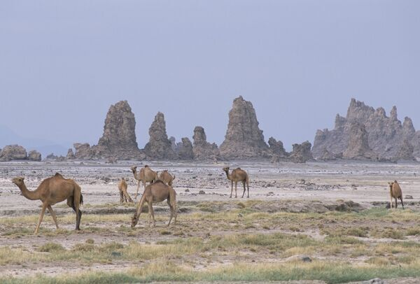 Tufa towers at Lac Abhe (Abbe), formed by hot springs beneath old lake at higher level