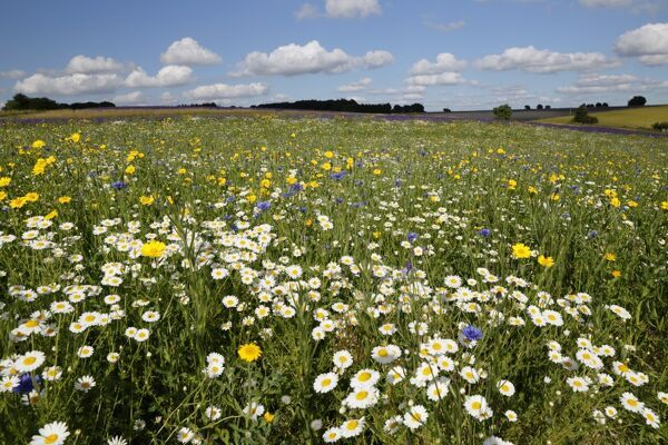 Wild flowers growing on grassland, Snowshill, Cotswolds, Gloucestershire, England, United Kingdom, Europe