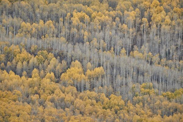 Yellow aspen trees in the fall, Uncompahgre National Forest, Colorado, United States of America, North America