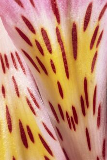 Abstract patterns and designs of the flower petals of a pink alstromeria