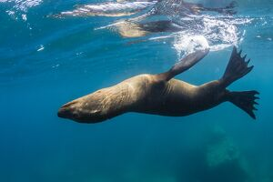 Adult California sea lion (Zalophus californianus) underwater at Los Islotes, Baja