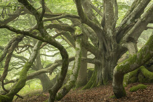 ancient beech tree enormous spreading branches