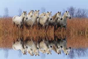 Camargue horses in the marsh, Camargue, Bouches du Rhone, Provence, France, Europe