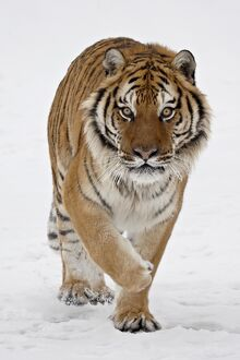 Captive Siberian Tiger (Panthera tigris altaica) in the snow, near Bozeman