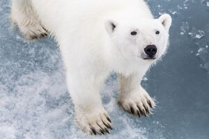 A curious young polar bear (Ursus maritimus) on the ice in Bear Sound, Spitsbergen Island