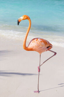 Flamingo on Flamingo beach, Renaissance Island, Oranjestad, Aruba, Lesser Antilles