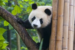 Giant panda (Ailuropoda melanoleuca) at the Panda Bear reserve, Chengdu