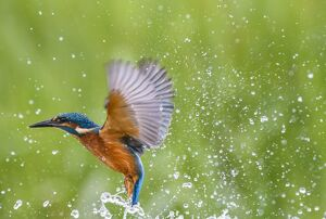 Kingfisher (Alcedo atthis), United Kingdom, Europe