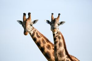 A pair of vulnerable Rothchild giraffe in Uganda's Murchison Falls National Park