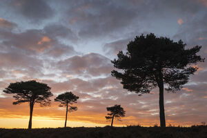 scots pine trees silhouetted sunset sky new forest